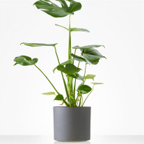 Monstera incl. pot